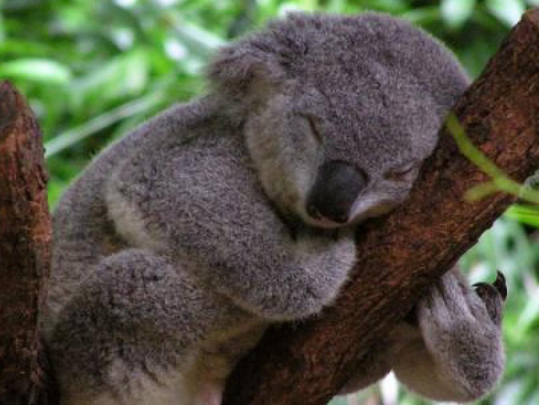 Mad Koala Bear